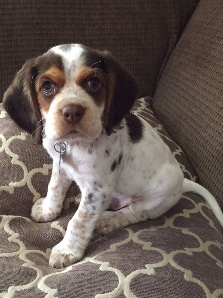 Spaniel and Beagle mix.