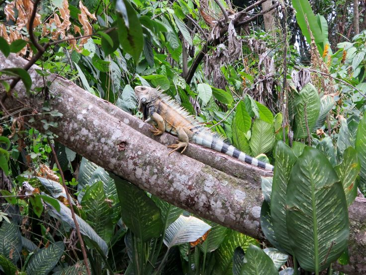 El Refugio's free roaming iguanas. If you stop in one day, you might just spot one!