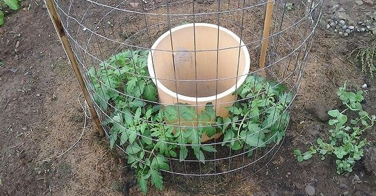 Tomato growing - James Bryan had a bright idea that resulted in something brilliant.