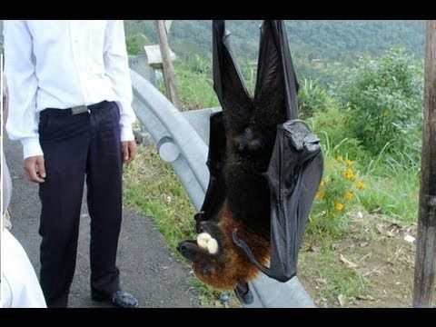 World's Largest Bat - Flying Fox  Don't mess with the Fox Bat. It is a foot long with a 3 foot wing span and the ability to release a deadly virus when it bites it's prey.