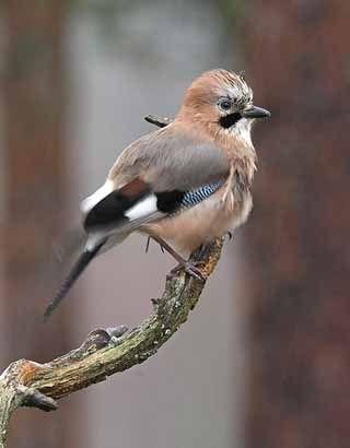 Närhi, Garrulus glandarius - Linnut - LuontoPortti