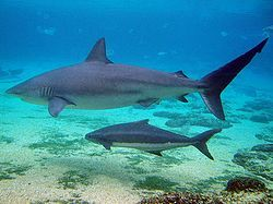 <3 <3 Dusky sharks <3 <3 extremely long-lived, may survive 1/2 a century, but are slow to grow & to reproduce, so they're very vulnerable to human-caused depletion. They're valued by commercial fisheries for their fins, used in shark fin soup, & for its meat, skin, & liver oil. The IUCN has assessed the species as Near Threatened. Off the eastern US populations have dropped to 15–20% of 1970s levels.