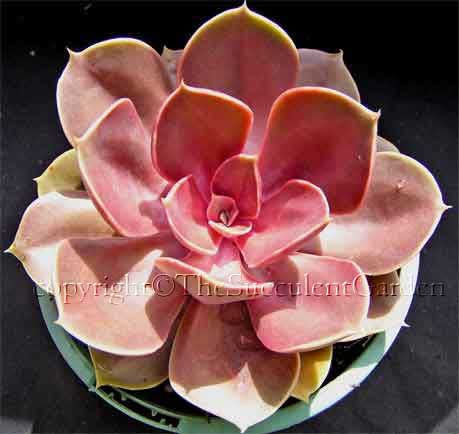 Echeveria 'Perle von Nurnberg' (rare form) suculants for sale.