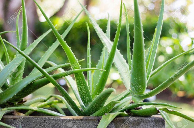 Aloe vera ~ Aloe vera
