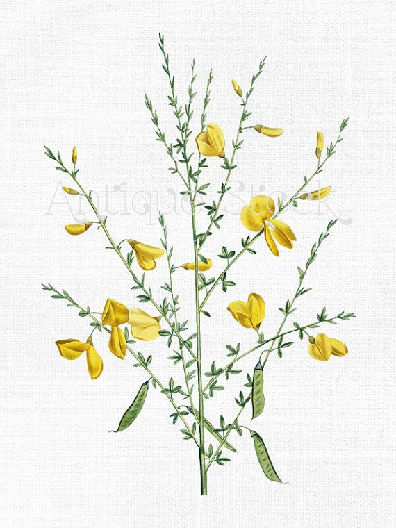 Yellow Flowers Clipart 'Scotch Broom' Botanical by AntiqueStock