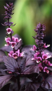 Kind: BASIL  Variety: RED RUBIN  Scientific Name: Ocimum basilicum  Type: Herb    Description: The perfect combination of ornamental appeal and intense, spicy flavor, Red Rubin is a great red-leafed Basil perfect for adding color to salads, oils, and vinegars.