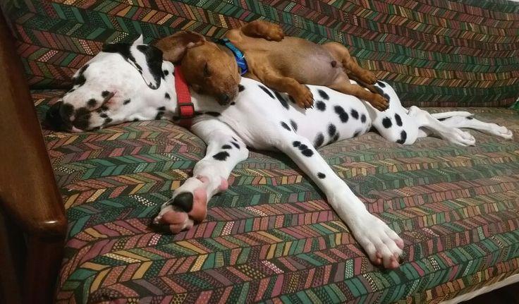 Best friends ... dalmatian 4.5months and mini dachshund 10weeks