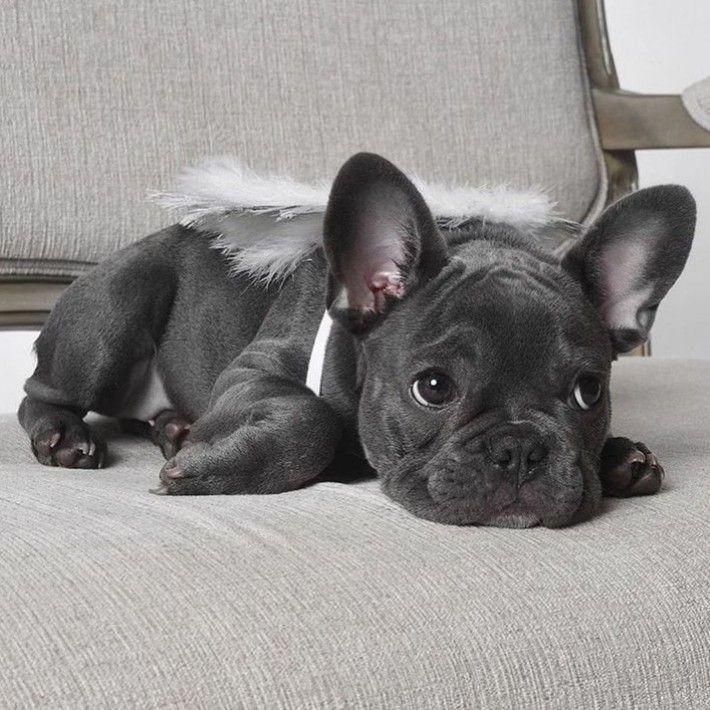 Pin By Imani Flowers On Frenchies In 2020 French Bulldog Puppies Puppies Potty Training Puppy