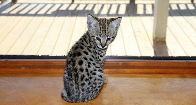 F1 Savannah Cat FOCUS by broadsurf, via Flickr