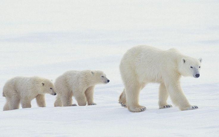 Polar Bear HD Wallpapers  Backgrounds  Wallpaper  2000×1333 Polar Bear Pictures Wallpapers (42 Wallpapers) | Adorable Wallpapers