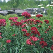 "Dianthus barbatus ""Sweet William"" biennial/ annual that reseeds and continues growing in same spot."