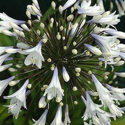 25 beste idee n over volle zon planten op pinterest tuin met volle zon volle zon vaste - Sterke witte werpen en de bal ...