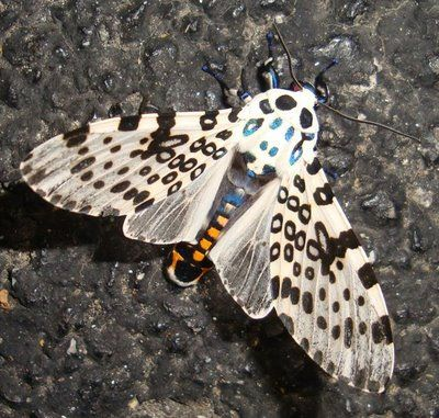 Giant Leopard Moth | DUSK WINGS: Giant Leopard Moth - caterpillar to pupa to adult