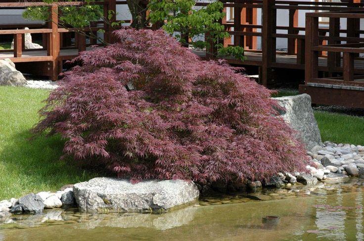 Vijver en Tuincentrum Pelckmans: Japanse esdoorns