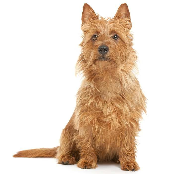 Is the Australian Terrier the right dog breed for you