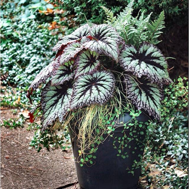 Shade Plants Container Garden Garden Ideas Gardening Shadow Plants Yard Ideas Landscaping Ideas Garden Yard Landscaping