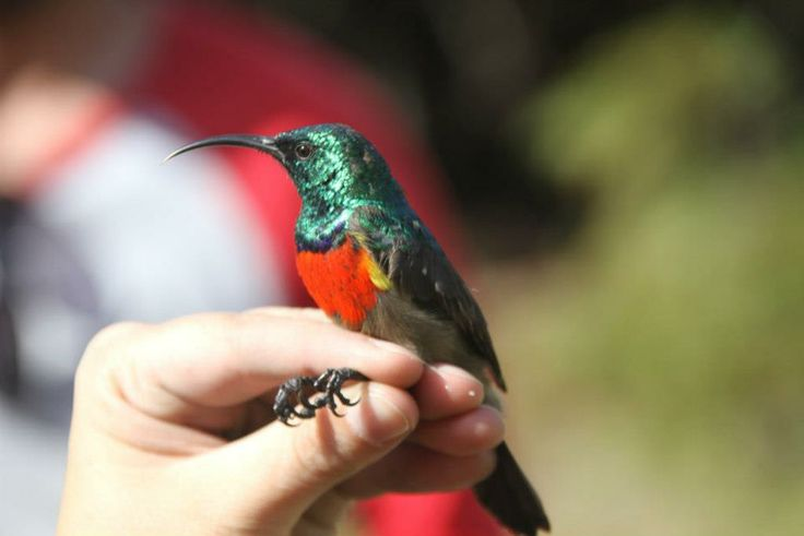 A double collared sunbird encountered by our volunteers whilst assisting on a terrestrial research project