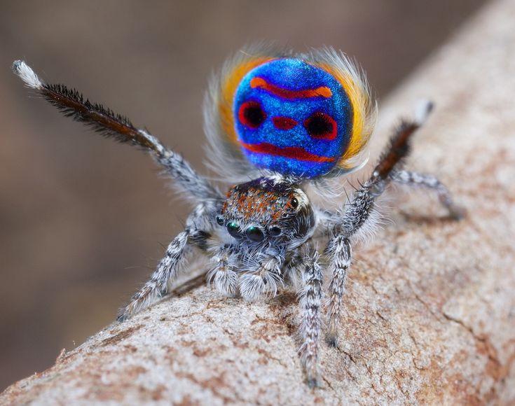 Les araignées paon sauteuses araignee paon 01 video technologie photo information bonus