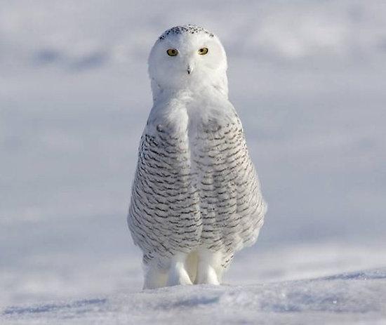 Snowy White Owl.