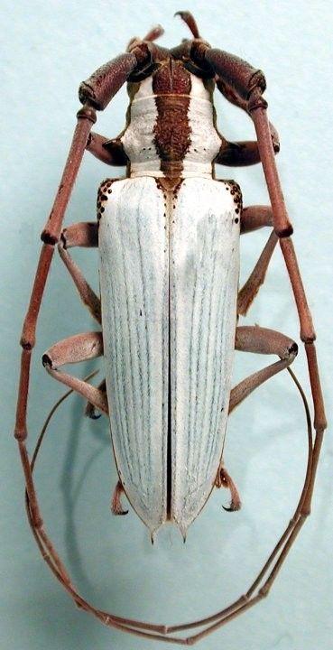 Plagiohammus imperator THOMSON 1868
