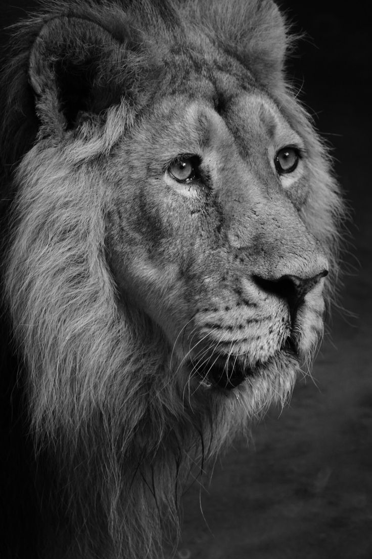 Best Большие котики Big сats Images On Pinterest Beautiful - Powerful and intimate black white animal portraits by luke holas
