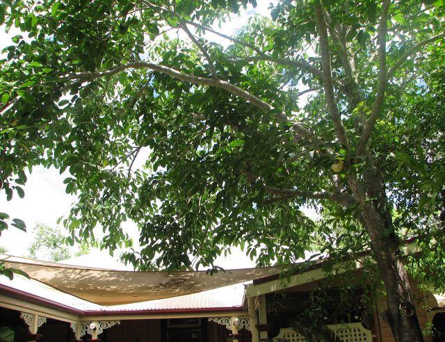 My Dry Tropics Garden: My own native 'Bush Tucker' tree - Sterculia Quadrifida. Native peanut tree