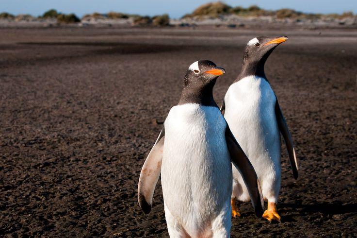 Very curious penguins, Falkland Islands