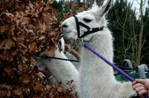 Llama Trekking in the National Forest hehe :)