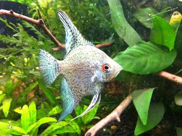 Blue Smokey Leopard Angelfish Angel Fish Tropical Fish Aquarium Coldwater Fish