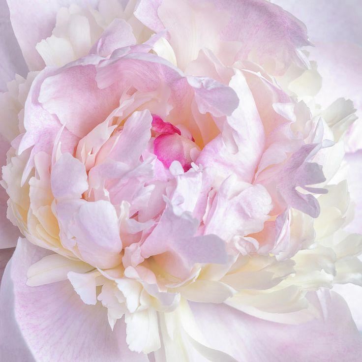 Jane Star Photograph - Vanilla-pink Lace-1 by Jane Star  #JaneStar #Peony #Flower #ArtForHome #InteriorDesign #HomeDecor