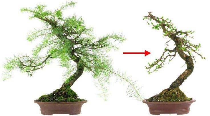 Bonsai 1: Japanische Lärche (Larix kaempferi, ca. 13 Jahre alt) vor und nach der Erstgestaltung der Baumkrone
