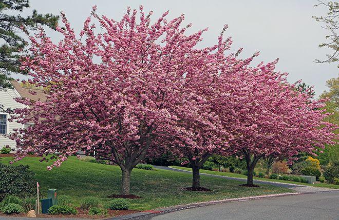House Of The Kwanzan Kwanzan Cherry Flowering Cherry Tree Cherry Tree
