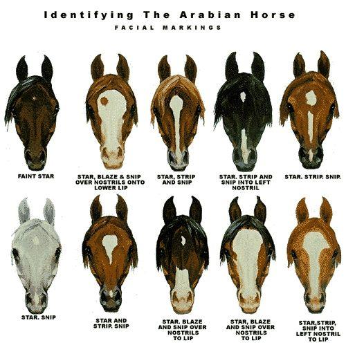 Identifying Arabian Horse (markings)