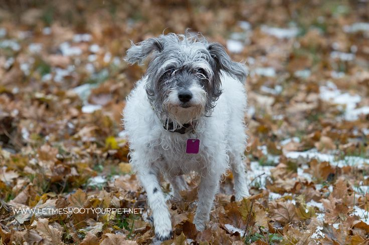 Brandy is an 8 year old schnauzer mix. There is a bit more to her to love right now but having an owner that would take her on walks would help her to lose some weight. She is a calm, lovable dog. She would prefer to be your one and only but she does get along with other dogs.  Up for adoption