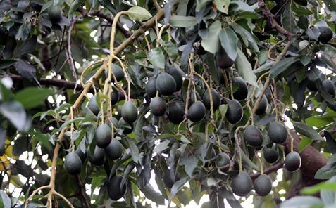 Alanya avokadonun üretim merkezi oldu Türkiye'nin avokado üretiminin yüzde 80'i, iklimi ve coğrafi yapısı dolayısıyla Antalya'nın Alanya ilçesinde gerçekleştiriliyor. İlçede 3 bin dekar alanda 33 bin avokado ağacı yetiştiriliyor.