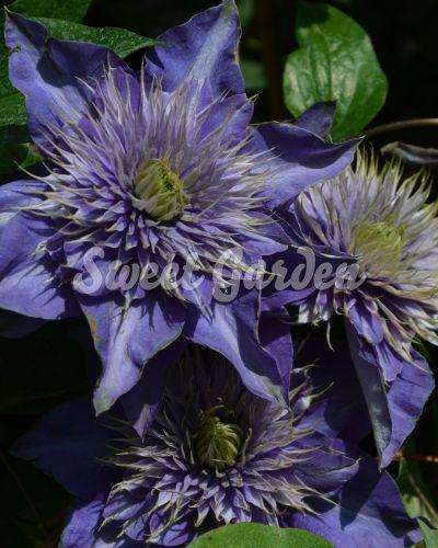 Klemátisz Multi Blue | Sweet Garden