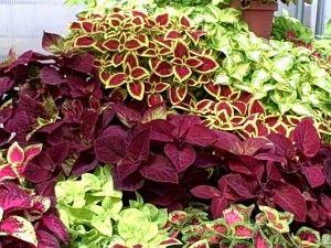 Coleus: Gardens Ideas, Flowers Growing, Kong Coleus, Pretty Colors, Front Yard, Coleus Plants, Flowers Boxes, Outdoor Spaces, Plants Gardens Lawn