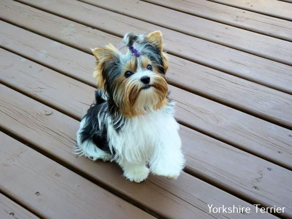 Yorkshire Terrier Frisuren Biewer Yorkie Yorkie Yorkshire Terrier