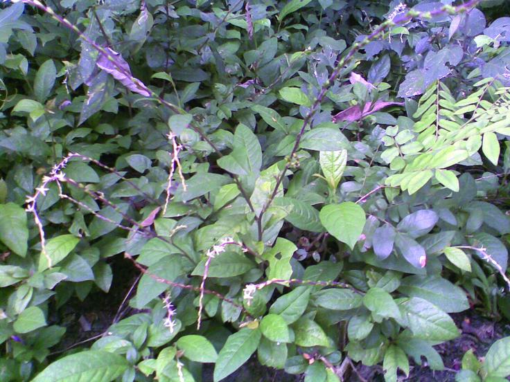 Petiveria alliacea o anamú, una planta que crece como maleza en áreas tropicales y cuyos variados usos son bien conocidos por la medicina indígena en países de Centroamérica y Latinoamérica.