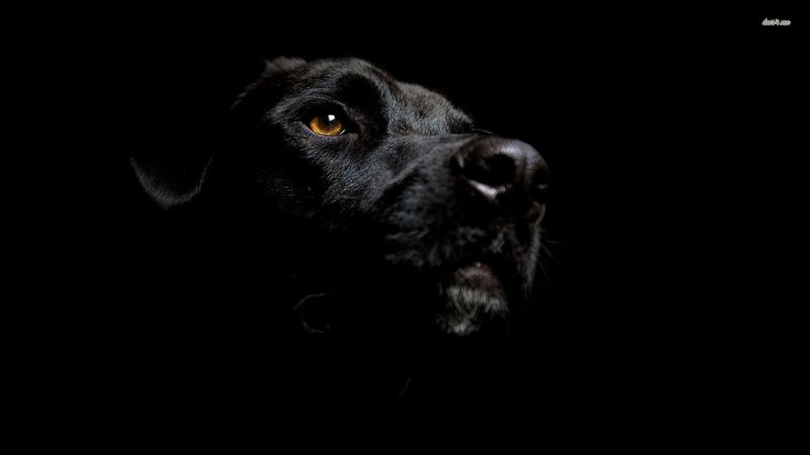 Latest Labrador Dog HD Wallpapers and Backgrounds (24)  www.urdunewtrend.... Labrador D... 3