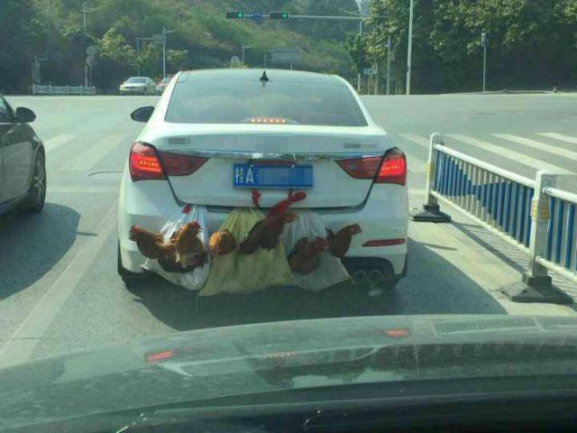 Gespot: Family keert terug naar huis van CNY breuk met twee eenden en een kip swingende vanaf de achterkant van hun auto: Shanghaiist