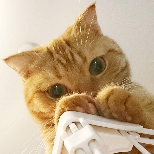 🐱 窓の外をたっぶりニャルソックした #うちの猫 ちびたん 😺♡ . おうちの中では 今度は母さんをニャルソックして 見守ってくれてます(監視かしら? 💦) .  それにしても 猫ちゃんの ちらっと見える肉球は いつ見てもたまらにゃい魅力です (*˘︶˘*).。.:* ♡ 🐾 . 🐾. 🐾 .  #愛猫 #猫がいる幸せ #肉球 #肉球祭 #29祭 #猫の福顔祭 #猫好きさんと繋がりたい #ねこすたぐらむ  #ニャンスタグラム #にゃんだふるらいふ #くりくりおめめ #ねこら部 #みんねこ #ペコねこ部 #茶トラ #ちゃとら #茶トラ猫 #茶トラ部  #茶トラ男子部 #ねこのきもち部 #スコ #スコティッシュ #アメショー #アメリカンショートヘア  #ミックス猫