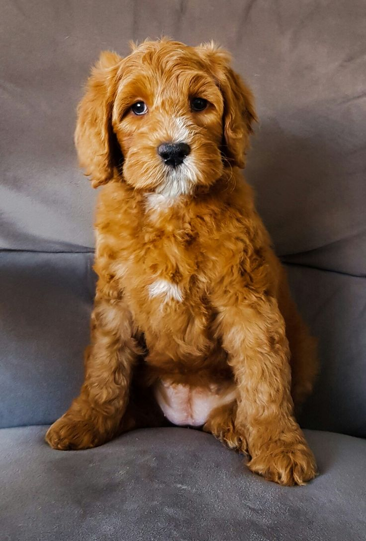 best dogs images on pinterest australian labradoodle puppies
