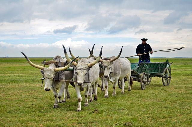Ungarische Graurinder in der Puszta.