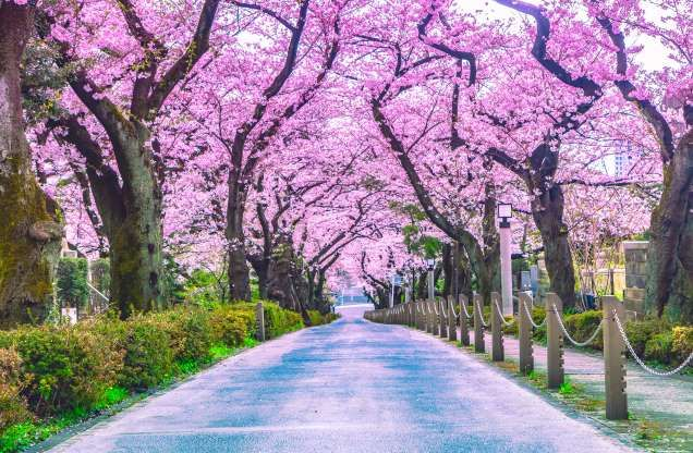 Walking Path Under The Beautiful Sakura Tree Or Cherry Tree Tunnel In Tokyo Japan Pigphoto Getty Images Sakura Tree Tree Nature Conservation