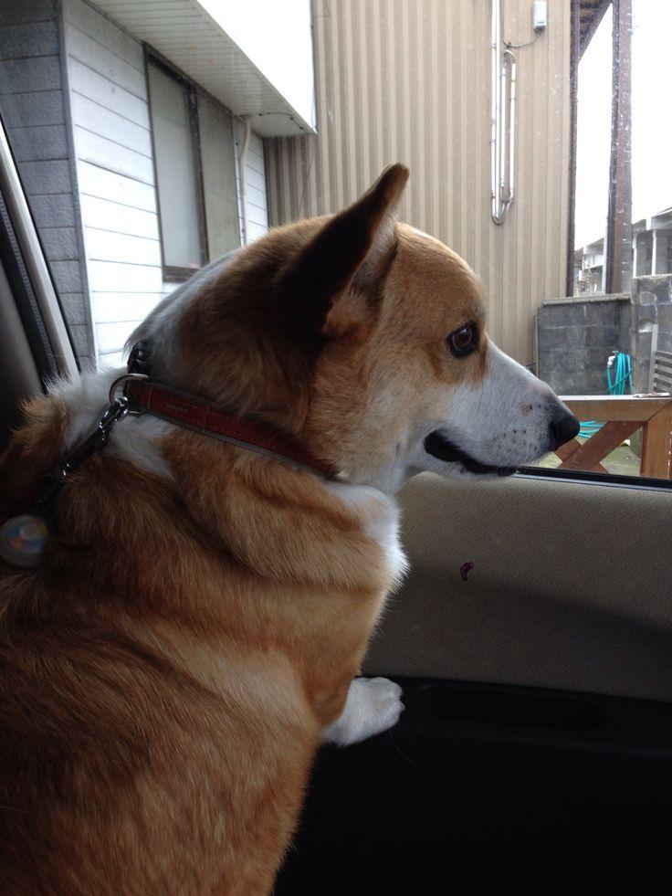 #dog #corgi ドライブ大好き!
