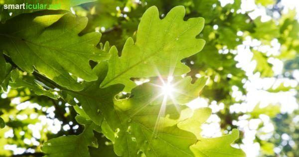 Obst, Laub, Holz und Schatten? Da geht noch mehr! Viele Bäume bereichern deine Speisen und deine Gesundheit. Finde heraus welche Bäume dir wie helfen!