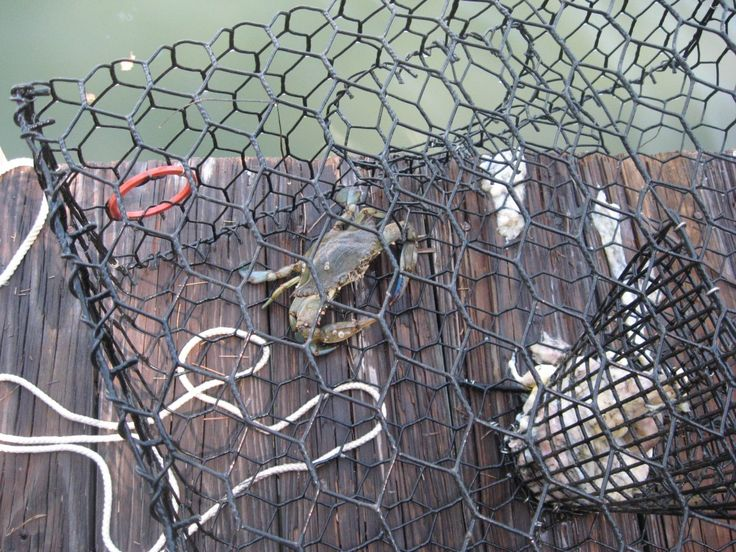 Information about crabbing, stone crab season, and blue crab season in Florida, along with regulations, great locations, and tips. Discount crab traps, crab nets, photos, maps, and videos included.