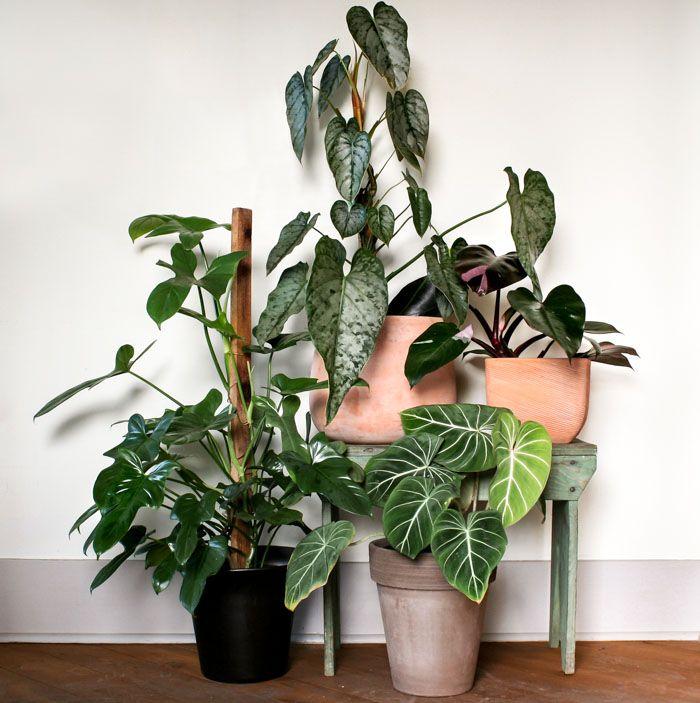 Best 25+ Large leaf plants ideas on Pinterest | Fiddle leaf fig ...