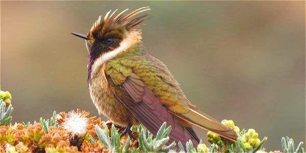 Colibrí 'Oxypogon stubelii', uno de los dos hallados. Vive en la cordillera Central.